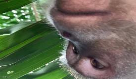 القرد السارق فضح نفسه