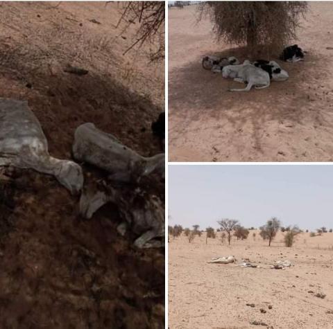 جانب من نفوق الأغنام في قرية بولاية الحوض الغربي (شبكات التواصل الاجتماعي)