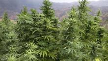 نبتة القنب الهندي في منطقة كتامة شمالي المغرب